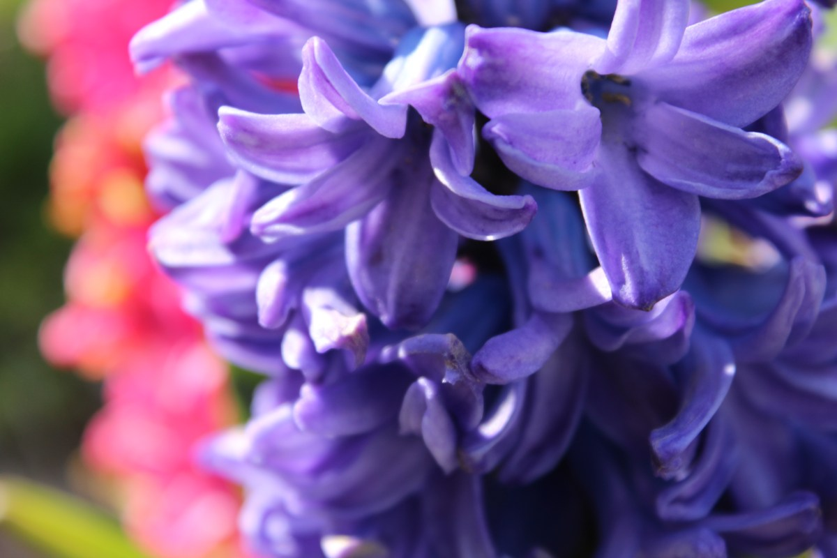How to Cut Hyacinths to Use as Cut Flowers